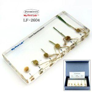 PMLF-2604 성장표본 옥수수