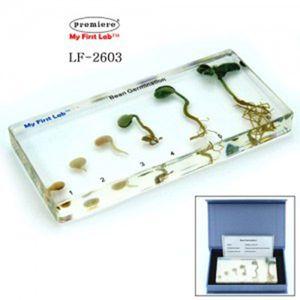 LF-2603 성장표본 콩