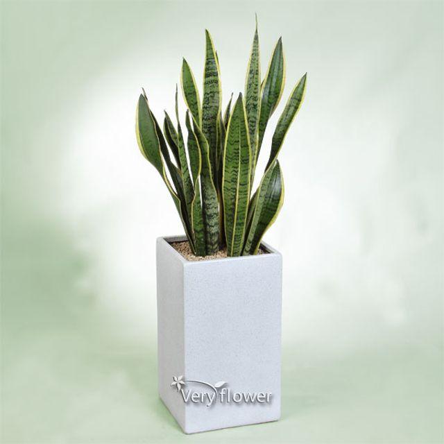 초롱 산세베리아 -중급 개업선물 전국 꽃배달 고백 결혼 기념일 감사선물