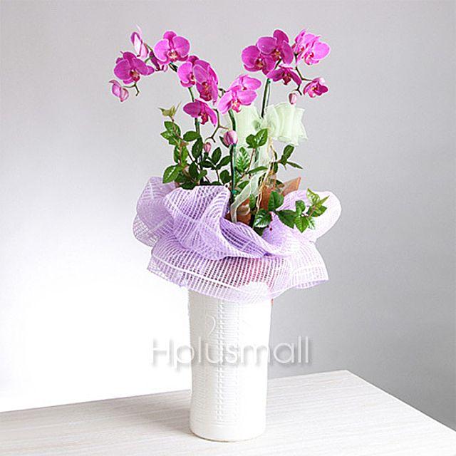 깔끔 핑크호접란(서양란) 3시간배송 전국 꽃배달 총알배송 고백 결