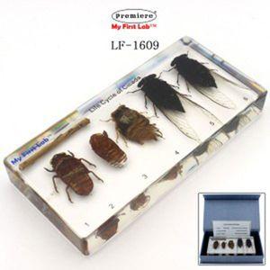 LF-1609 성장표본 매미