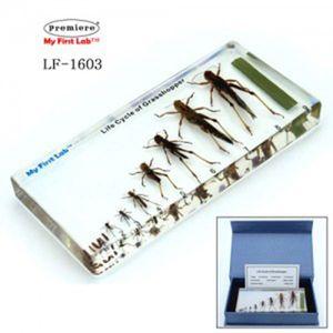 LF-1603 성장표본 메뚜기