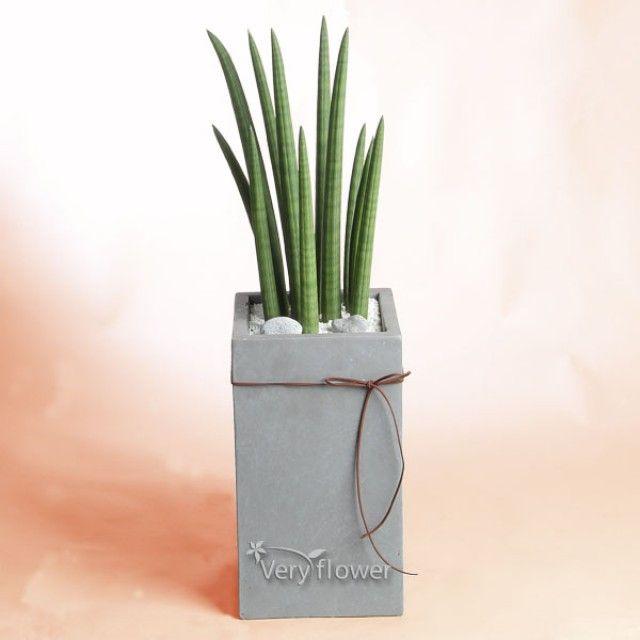 아지랑이 스투키-중급 개업선물 전국 꽃배달 총알배송 고백 결혼 기념일 감사선물